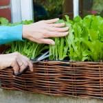 Giàn phơi thông minh cho bạn vườn rau mini ngay tại chung cư nhà bạn